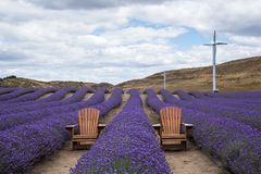 Lavender farm in New Zealand with chairs and wind turbines Stock Images