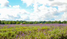 Lavender farm, North Surrey Hills, UK. July 19 Stock Photo
