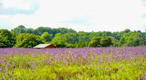 Lavender farm, North Surrey Hills, UK. July 19 Stock Photography
