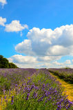 Lavender farm, North Surrey Hills, UK. July 19 Stock Image