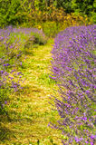 Lavender farm, North Surrey Hills, UK. July 19 Stock Images