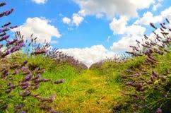 Lavender farm, North Surrey Hills, UK. July 19 Stock Photos