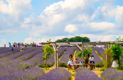 Lavender farm, North Surrey Hills, UK. July 19 Royalty Free Stock Photo