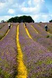 Lavender farm, North Surrey Hills, UK. July 19 Royalty Free Stock Image