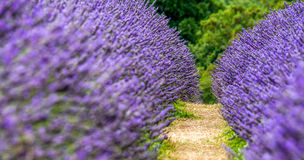 Lavender Farm Stock Photo