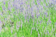 Lavender farm in peak bloom surrounding landscape in Sequim, Was royalty free stock photography