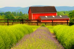 Lavender Farm and red barn Royalty Free Stock Images