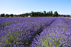 Lavender farm in Sequim, WA Royalty Free Stock Photo