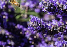 Lavender farm in Sequim Washington Royalty Free Stock Image