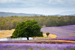 Lavender farm in Tasmania Royalty Free Stock Image