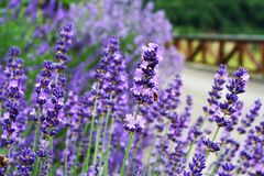 Lavender farme Royalty Free Stock Images
