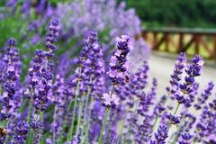 Lavender farme