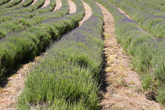 Lavender farming on the channel islands, UK. Lavender (Lavandula angustifolia) farming on the channel islands Stock Photography