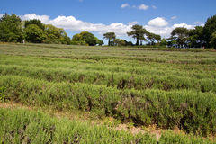 Lavender farming on the channel islands, UK Royalty Free Stock Photo