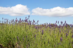 Lavender farming on the channel islands, UK. Lavender (Lavandula angustifolia) farming on the channel islands Stock Photos