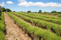 Lavender farming on the channel islands, UK. Lavender (Lavandula angustifolia) farming on the channel islands Stock Images