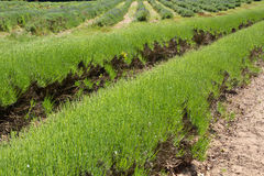 Lavender farming on Jersey, UK Royalty Free Stock Image
