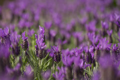 Lavender. Fathead close up on a sunny day Stock Photos