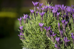 Lavender. Fathead close up on a sunny day Royalty Free Stock Images