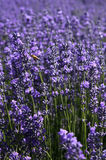 Lavender feature Royalty Free Stock Photography