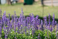 Lavender fernleaf κινηματογραφήσεων σε πρώτο πλάνο όμορφο λουλούδι Στοκ φωτογραφία με δικαίωμα ελεύθερης χρήσης