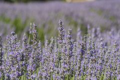 Lavender Festival at 123 Farm Royalty Free Stock Photos