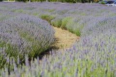 Lavender Festival at 123 Farm Stock Photography