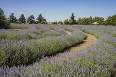 Lavender Festival at 123 Farm. Beautiful purple lavender blossom of Lavender Festival of 123 Farm at San Bernardino, Los Angeles County, United States Royalty Free Stock Photo