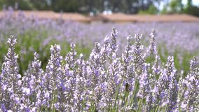 Lavender Festival at 123 Farm stock footage