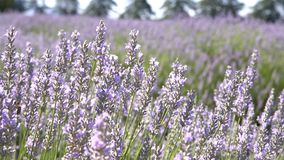 Lavender Festival at 123 Farm stock video