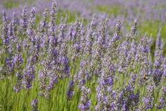 Lavender Festival at 123 Farm. Beautiful purple lavender blossom of Lavender Festival of 123 Farm at San Bernardino, Los Angeles County, United States Stock Images