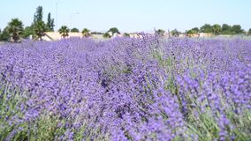 Lavender Festival at 123 Farm stock video footage