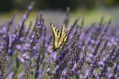 Lavender Festival at 123 Farm. Close up of Papilio machaon and Beautiful purple lavender blossom of Lavender Festival of 123 Farm at San Bernardino, Los Angeles Stock Photography