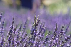 Lavender Festival at 123 Farm Royalty Free Stock Photography