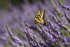 Lavender Festival at 123 Farm. Close up of Papilio machaon and Beautiful purple lavender blossom of Lavender Festival of 123 Farm at San Bernardino, Los Angeles Royalty Free Stock Images