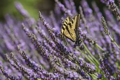 Lavender Festival at 123 Farm. Close up of Papilio machaon and Beautiful purple lavender blossom of Lavender Festival of 123 Farm at San Bernardino, Los Angeles Stock Images