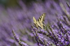 Lavender Festival at 123 Farm. Close up of Papilio machaon and Beautiful purple lavender blossom of Lavender Festival of 123 Farm at San Bernardino, Los Angeles Royalty Free Stock Image