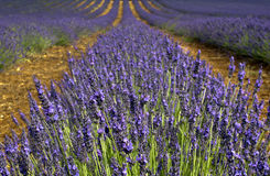 Lavender Field-1. Lavender fields, grown commercially in North Norfolk and exported all over the world Royalty Free Stock Image