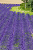 Lavender field, Royalty Free Stock Photography