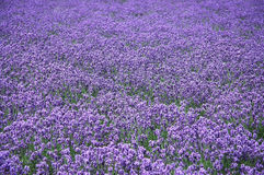 The lavender field. The violet time of the summer Stock Images