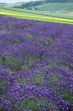 The lavender field. The violet lavender field Royalty Free Stock Photo