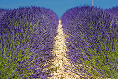Lavender field. Plateau de Valensole, Provence, France Royalty Free Stock Photos