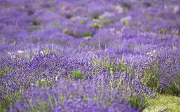 Lavender field Stock Photography