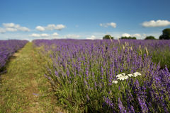 Lavender field. Field of lavender flowers with a grass pathway stock photo