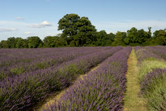Lavender field. Rows of lavender flowers in a field stock photography