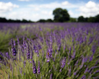 Lavender field. Colorful lavender flowers blooming in field stock photography