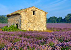 Lavender Field. A lavender field surrounding an abandoned stone cottage in the early morning sun in Provence,France Royalty Free Stock Photography
