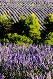 Lavender field. Plateau de Valensole, Provence, France Stock Images