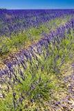 Lavender field. Plateau de Valensole, Provence, France Royalty Free Stock Image