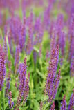 The lavender field Royalty Free Stock Images